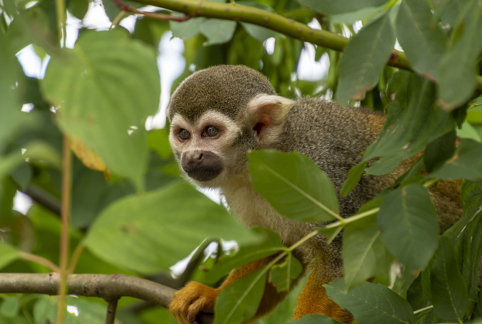 Guatemala wildlife - Spider monkey