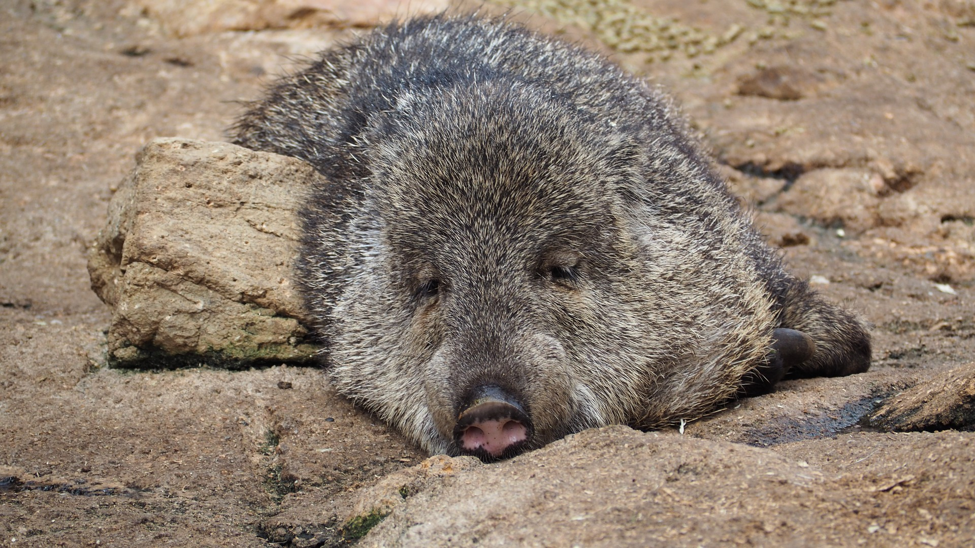 Guatemala wildlife - White lipped peccary