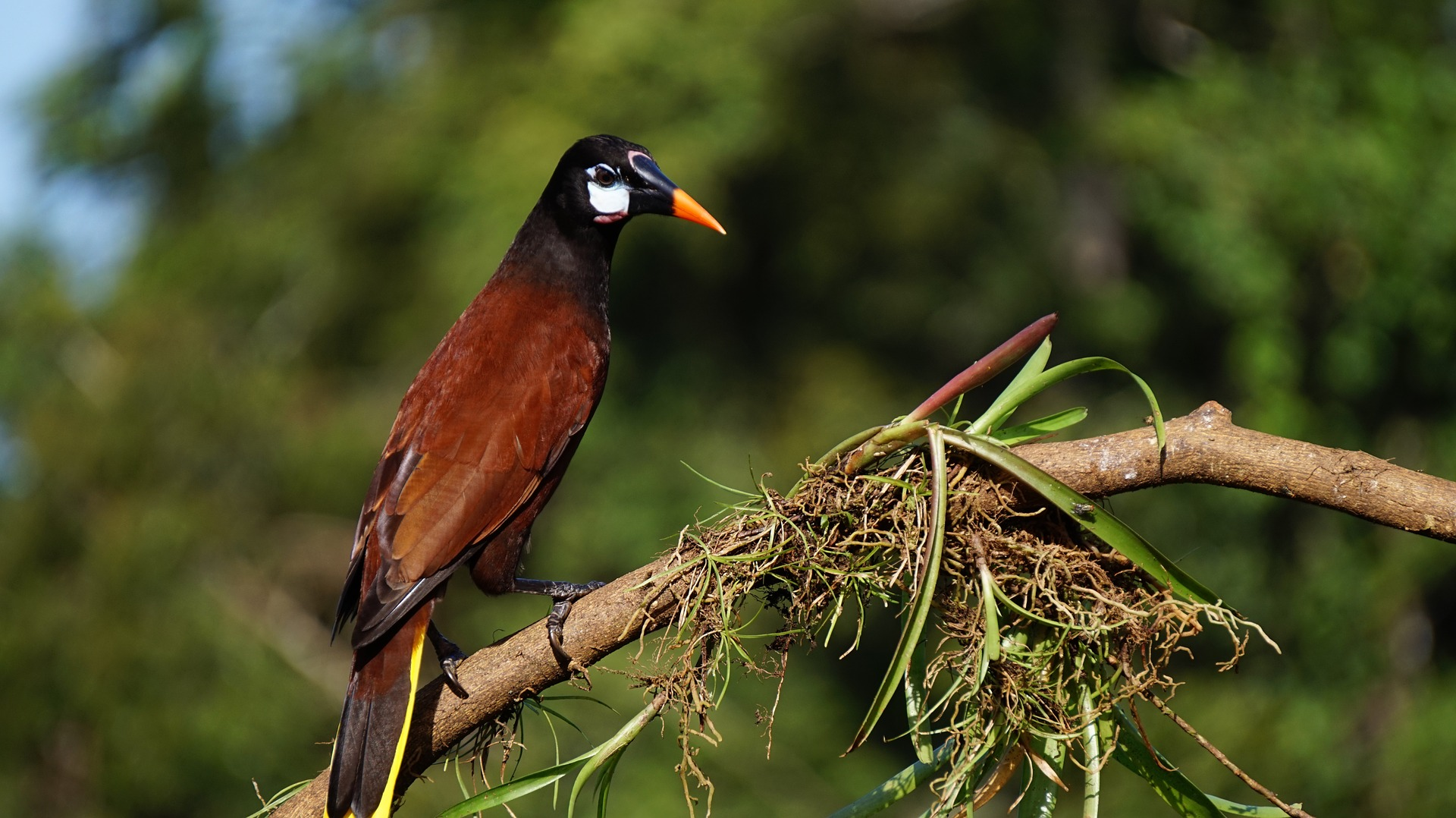 Guatemala wildlife - montesuma oropendola