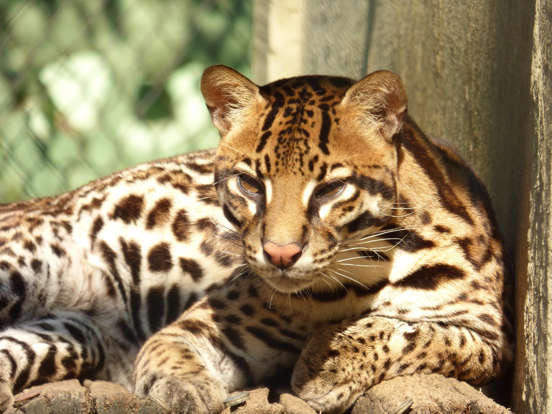 Guatemala wildlife - ocelot