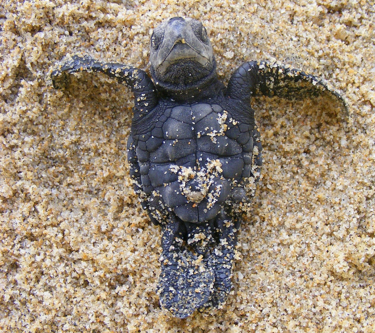 Guatemala wildlife - olive ridnely sea turtle