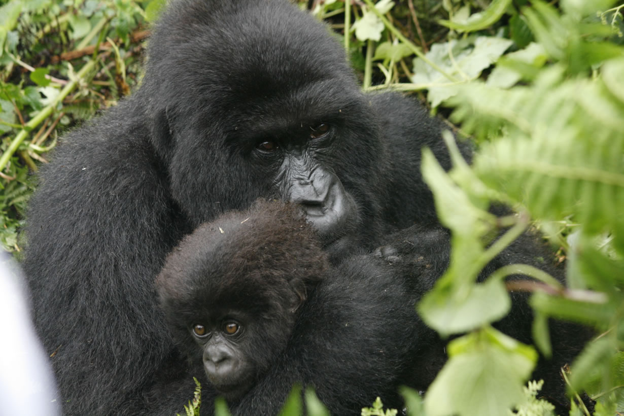 Encounter Gorilla Trekking Tours in Uganda