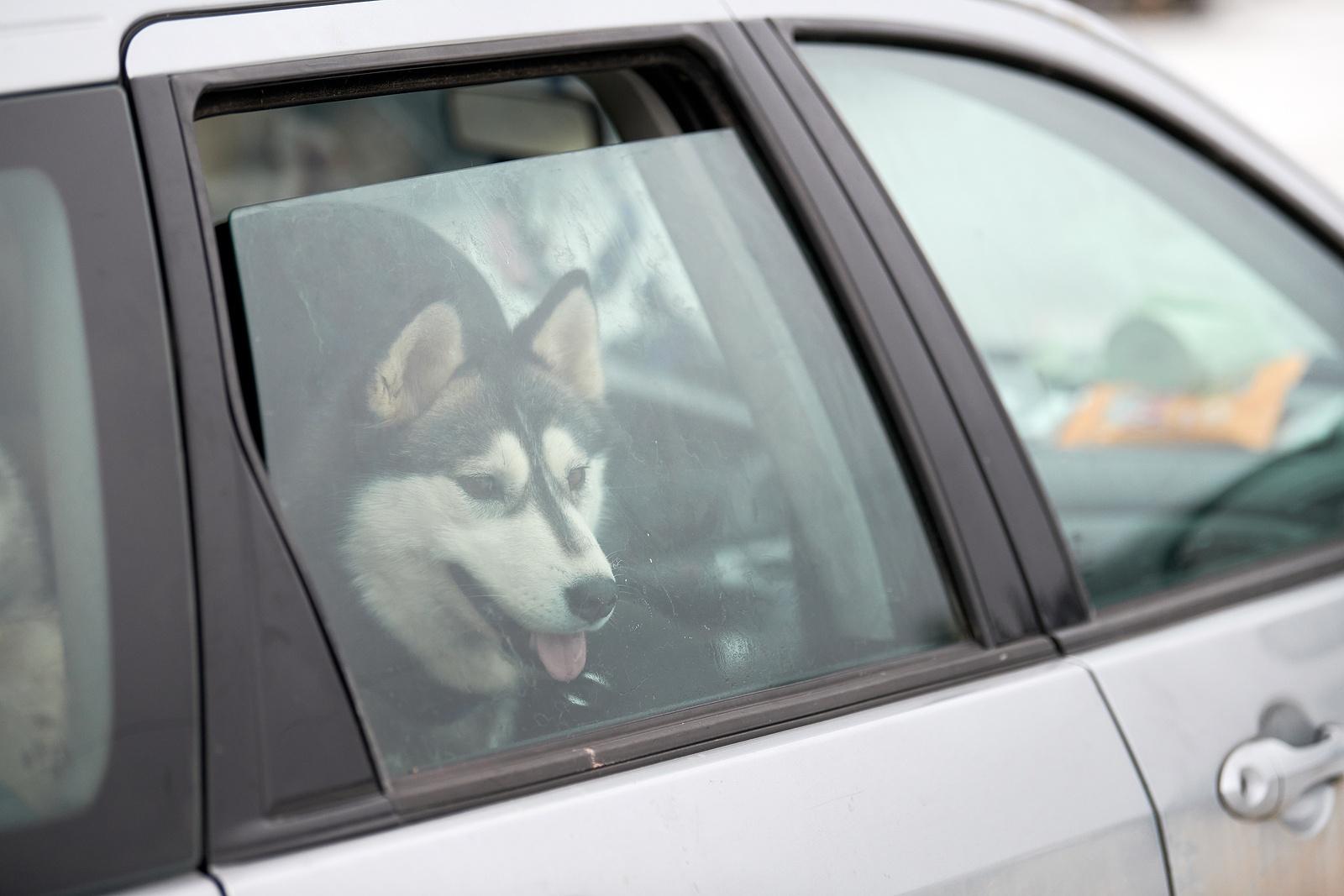 Husky Sled Dog In Car, Travel Pet. Dog Locked Inside Car, Lookin