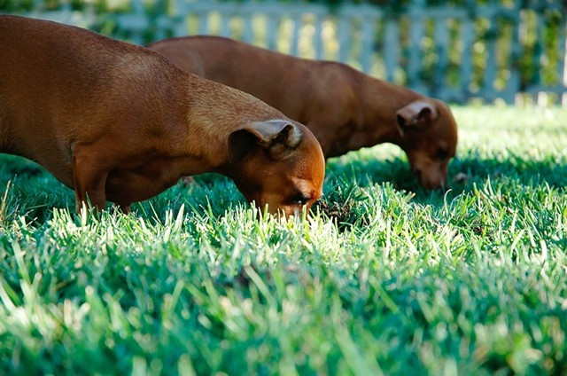 6 Reasons Dogs Eat Grass Whenever They Are Outdoors