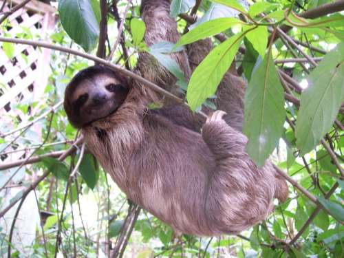 Sloth at the Manuel Antonio National Park